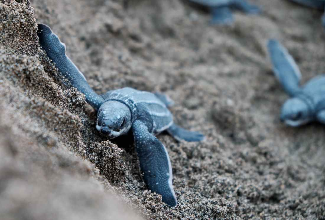 blue turtles on brown sand